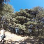 Huge Cedars