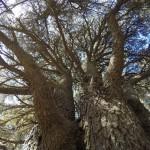 Very old Cedars