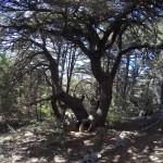 Trunk split Cedars