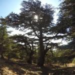 Very tall Cedars