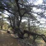 Heavy Cedars
