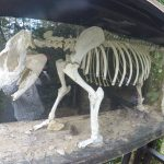 Tapir skeleton in Belize Zoo