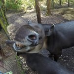 Tapirs have flexible noses