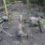 Pecarry herd in Belize Zoo