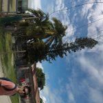Pine tree on an island?