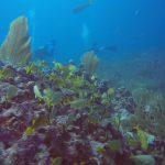 French grunts and yellowtail snappers