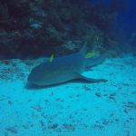 Nurse shark relaxing
